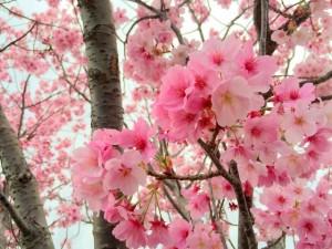 伊万里市内某所2016桜