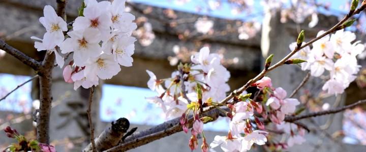 伊万里のお花見2017 - 国見台公園 (おまけ:馬場の山桜(武雄))
