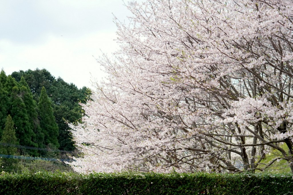 Ohanami in Imari 2017 photo by IGAWA dc (5)